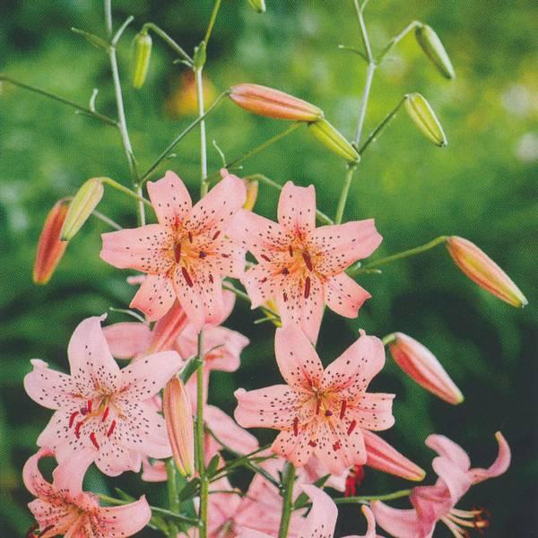 Bilde av Lilje Pink Giant - 3 stk. blomsterløk