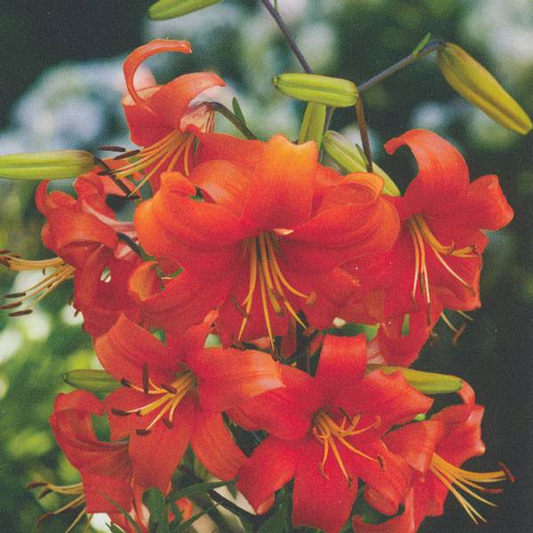 Bilde av Lilje Pearl Justien - 3 stk. blomsterløk