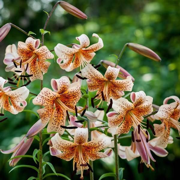 Bilde av NYHET! Lilje Tiger Babies - 3 stk. blomsterløk