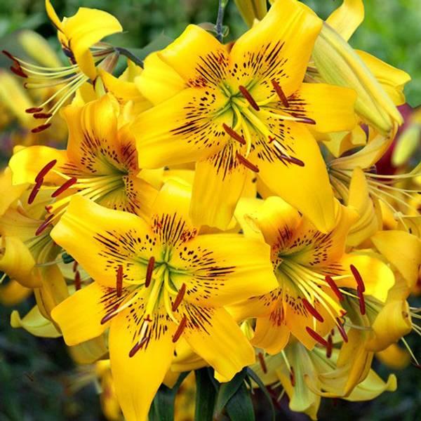 Bilde av NYHET! Lilje Yellow Bruse - 3 stk. blomsterløk