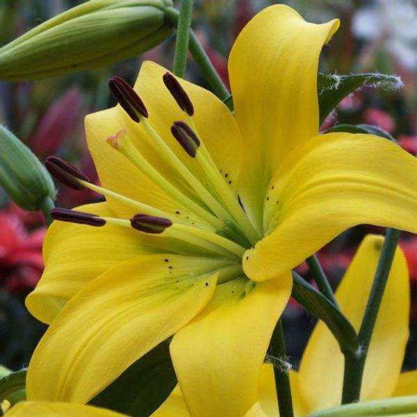Bilde av NYHET! Lilje Pearl Melanie - 3 stk. blomsterløk