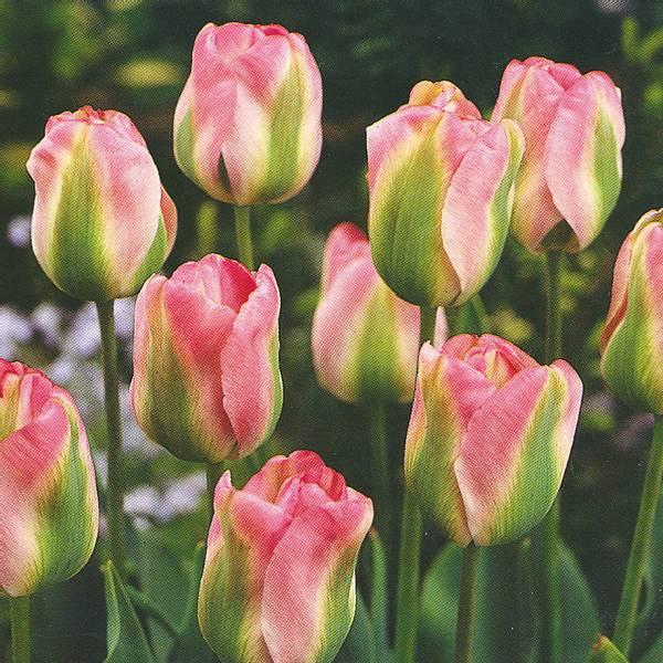 Bilde av Tulipan Groenland* - 8 stk. blomsterløk