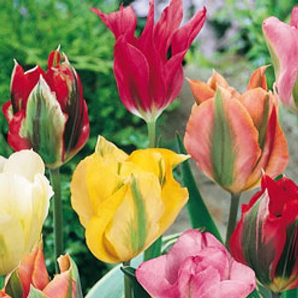 Bilde av Grønne tulipaner i mix*.  - 20 stk. blomsterløk