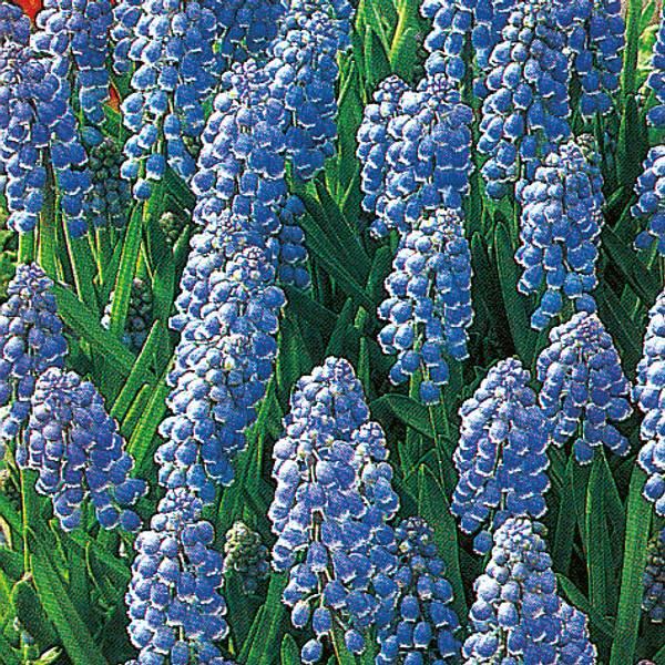 Bilde av Muscari armeniacum - 25 stk. blomsterløk