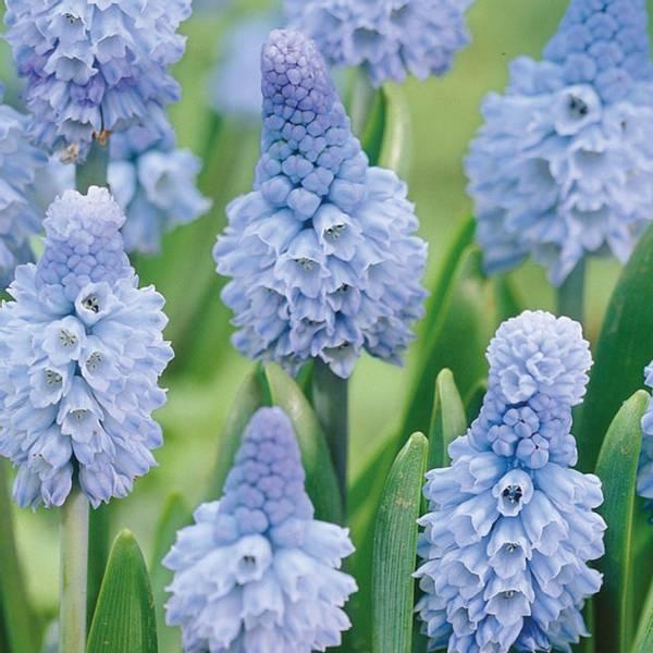 Bilde av Muscari Azureum - 10 stk. blomsterløk
