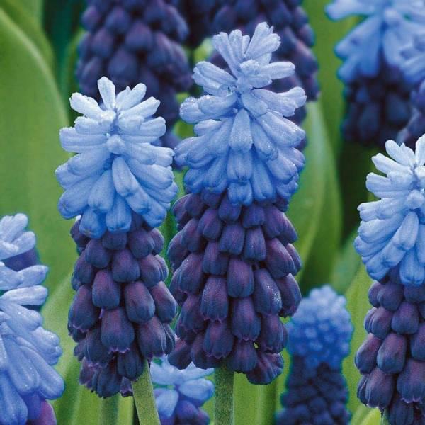 Bilde av Muscari Latifolium - 10 stk. blomsterløk