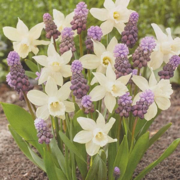 Bilde av Narcis Snow Baby og Muscari Purple Rain - 20 stk.
