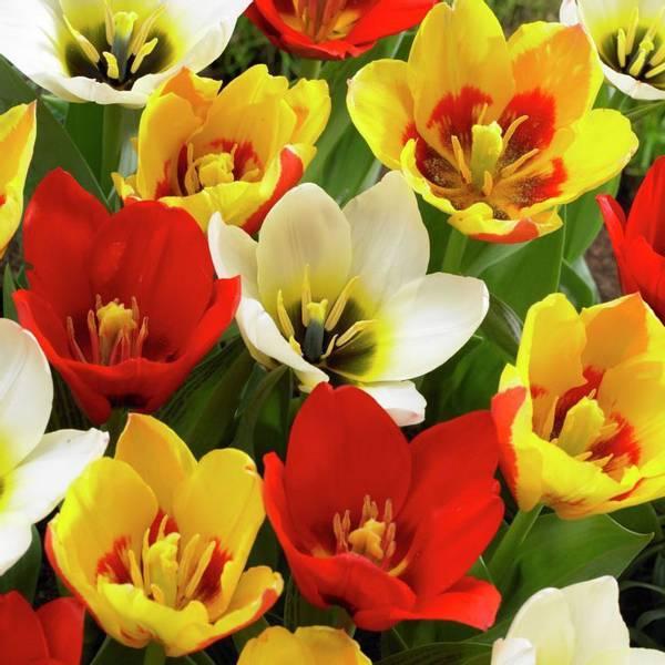 Bilde av NYHET! Botaniske Tulipaner i blanding