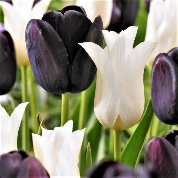 Bilde av NYHET! Tulipaner Sort/Hvitt - 20 stk. blomsterløk