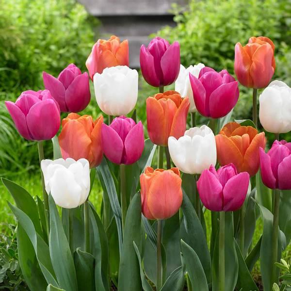 Bilde av TILBUD! *Triumph Tulipan Pastel Mix. - 40 stk.