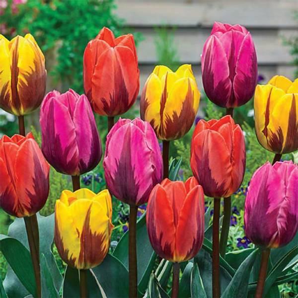 Bilde av Tulipan Princess Mix.- 15 stk. blomsterløk