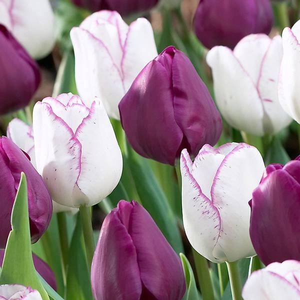 Bilde av Tulipan Negrita og Shirley - 20 stk. blomsterløk