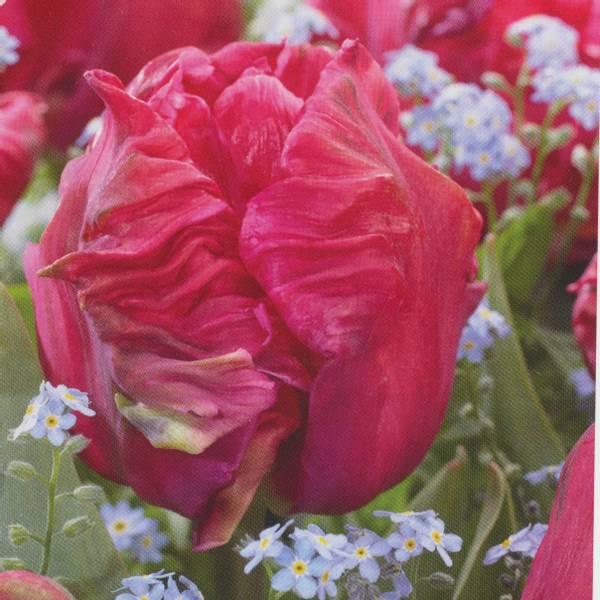 Bilde av Tulipan Marvel - 6 stk. blomsterløk