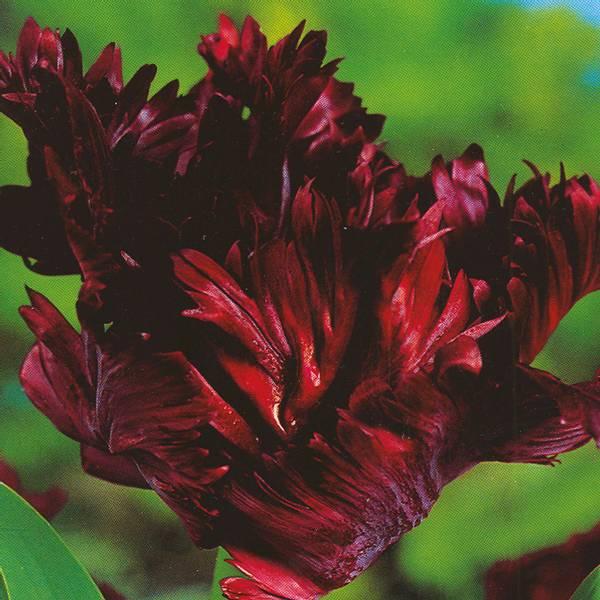 Bilde av Tulipan Black Parrot*  - 6 stk. blomsterløk