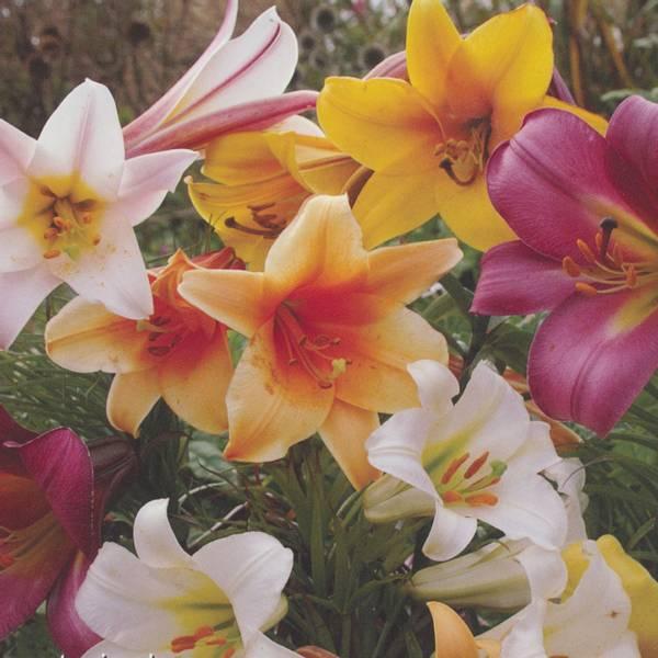 Bilde av Eksklusive Trompet-liljer - 12 stk. blomsterløk