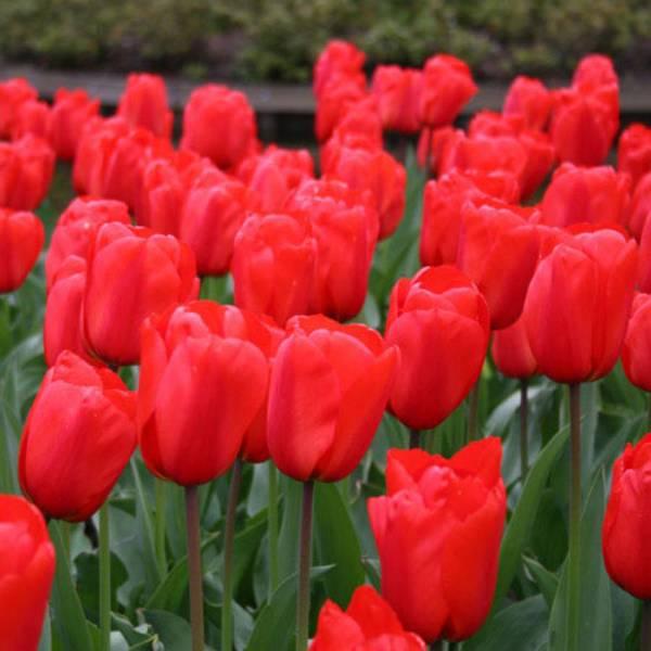 Bilde av Kjempetilbud! 100 stk.  Apeldoorn tulipaner