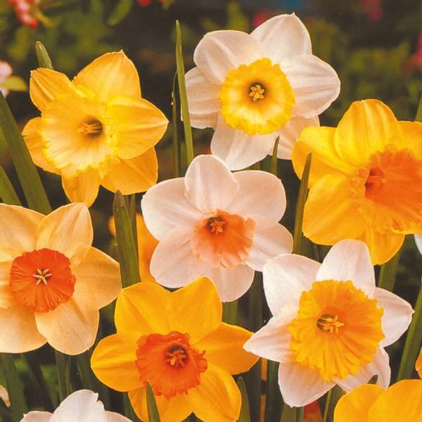 Bilde av Kjempetilbud! * 50 stk. påskeliljer i blanding.