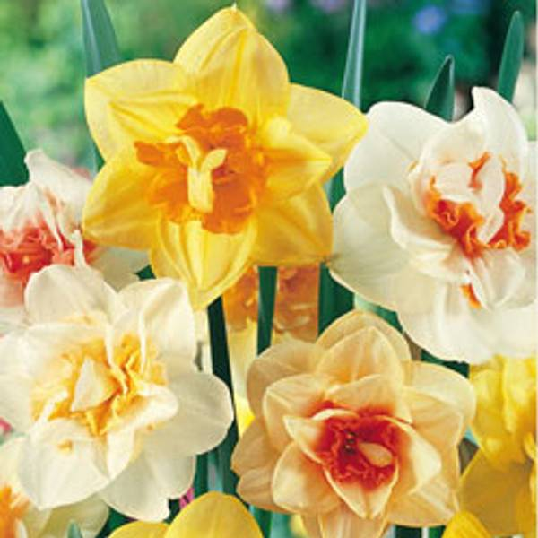 Bilde av Narcis Doble i Mix*. - 15 stk. blomsterløk