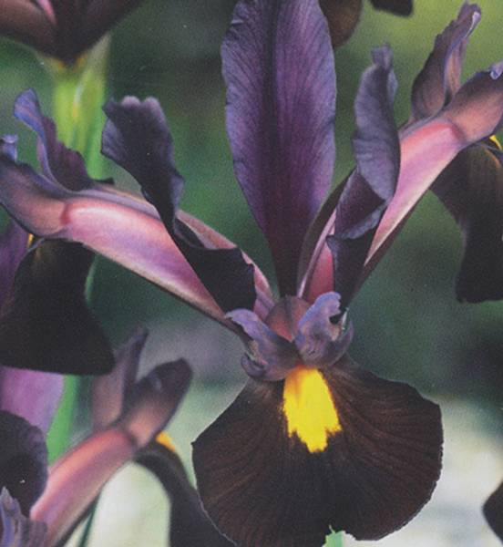 Bilde av IRIS Hollandica  'Red Ember'