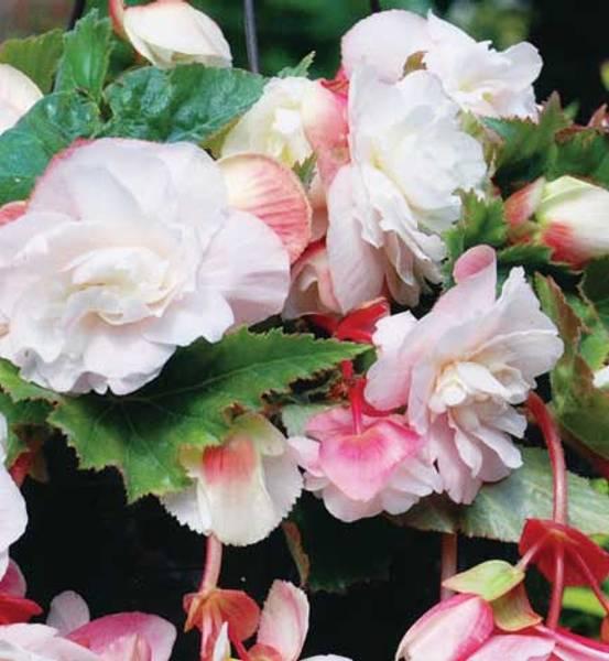 Bilde av DOBBEL HENGEBEGONIA 'Odorata Pink White'