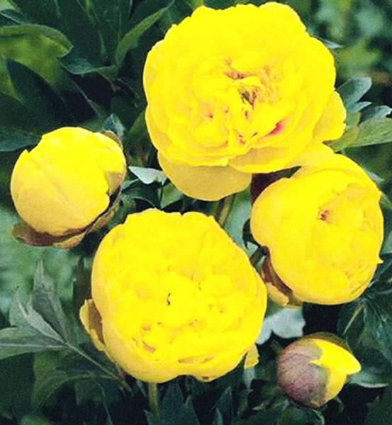 Bilde av PAEONIA 'Yellow Crown'