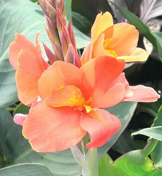 Bilde av CANNA 'Apricot Dream'