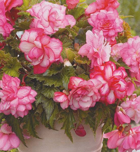 Bilde av BEGONIA 'Pink Balcony'