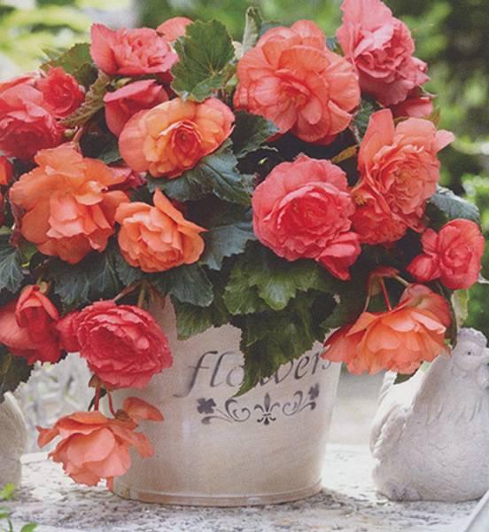 Bilde av BEGONIA 'Odorosa Sweet Pink' - Nyhet 2019!