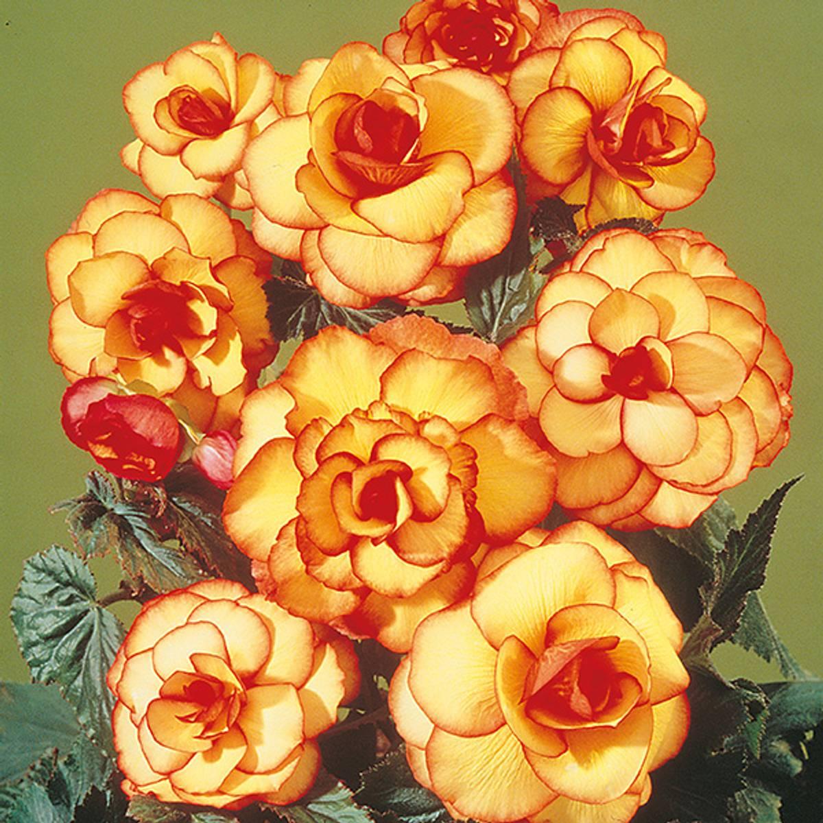 BEGONIA 'Picotee' rød/gul - Storblomstret. 3 stk.
