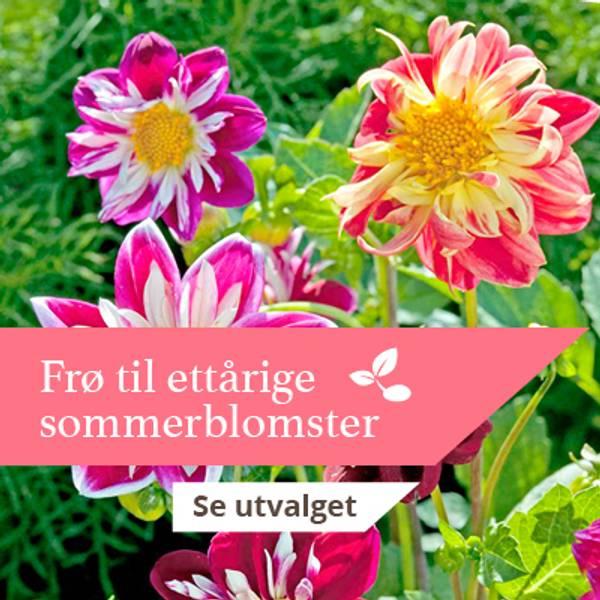 Frø til sommerblomster