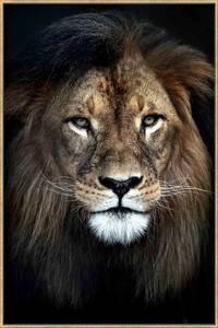 Bilde av Bilde Løve m/gullramme 110020