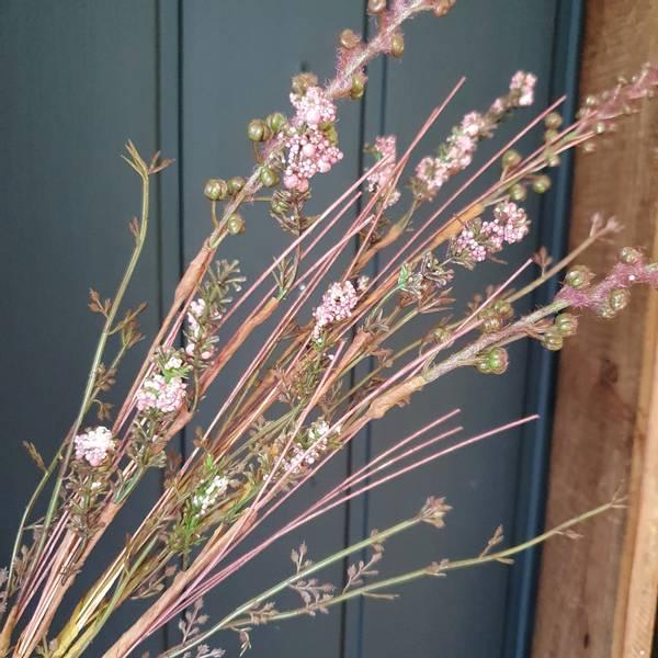 Silkeblomst lilla nyanser