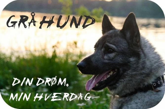 Bilde av Gråhund Din Drøm Min Hverdag Bilde 20x10