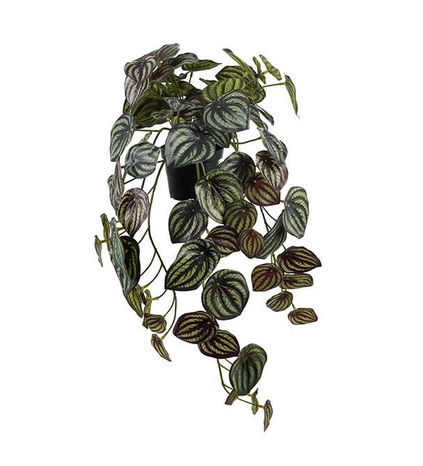 Bilde av Peperomia 45 cm