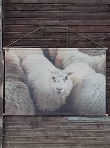 Bilde av Trend Plansje saueflokk 154x100cm