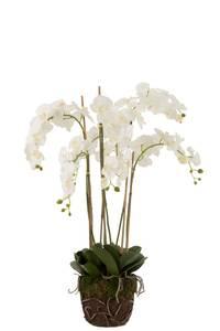 Bilde av Stor flergrenet orkide hvit
