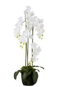 Bilde av Høy flergrenet orkide