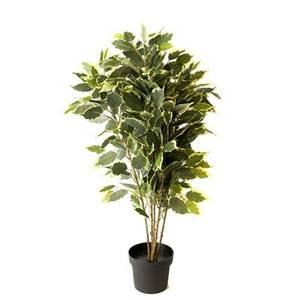 Bilde av  Ficus H:80