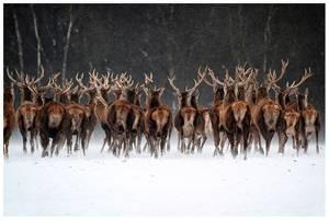 Bilde av Let`s run deer (50x70 bilde Plexiglass)