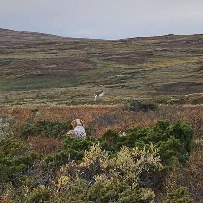 Bilde av Trening av fuglehunden i fjellet med