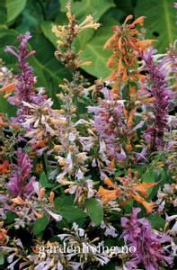 Bilde av Anisisop, kolibri - Agastache aurantiaca 'Fragrant Mixed'