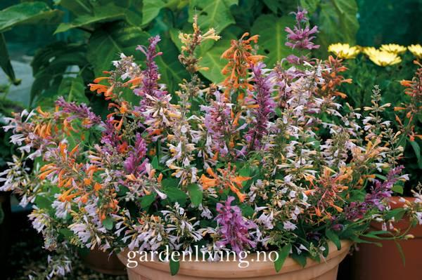 Anisisop, kolibri - Agastache aurantiaca 'Fragrant Mixed'