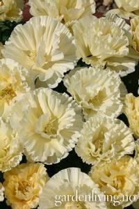 Bilde av Kaliforniavalmue 'Cream Swirl' - Eschscholzia californica