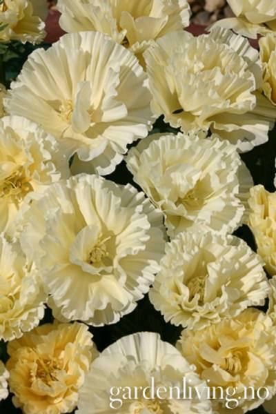 Kaliforniavalmue 'Cream Swirl' - Eschscholzia californica