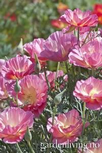 Bilde av Kaliforniavalmue 'Pink Bush' - Eschscholzia californica
