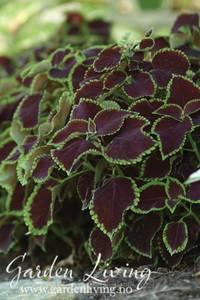 Bilde av Praktspragle 'Chocolate Mint' - Solenostemon blumei