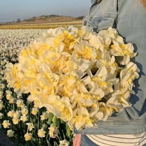 Bilde av Påskelilje 'Westward' - Narcissus - 10 stk