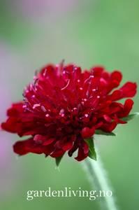 Bilde av Makedoniarødknapp 'Red Cherries'- Knautia macedonia