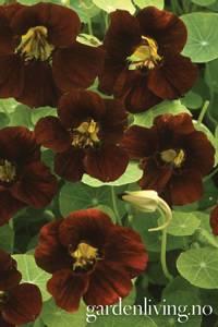 Bilde av Blomkarse, lav 'Black Velvet' - Tropaeolum majus