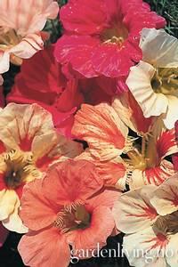 Bilde av Blomkarse 'Carribean Cocktail' - Tropaeolum majus